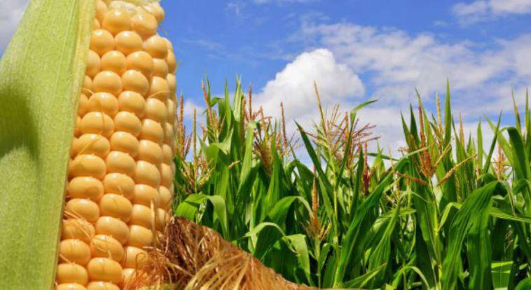 Cultivos transgénicos dejan ganancia a los agricultores de US$186 mil millones