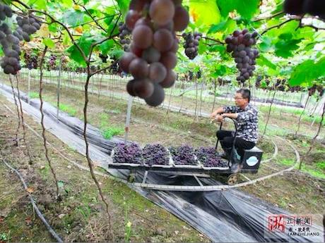 En China construyen vía férrea en campos de vides