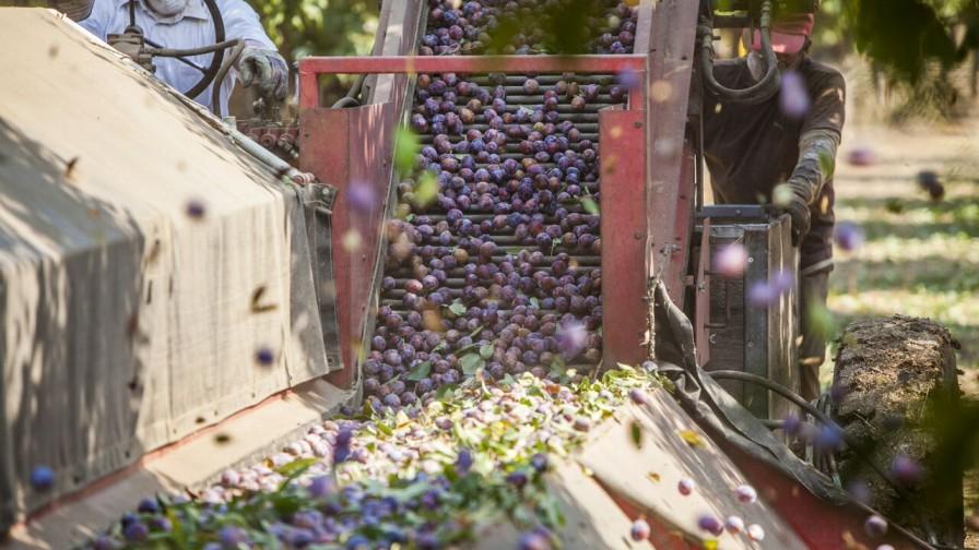Chile Prunes busca aumentar demanda de ciruelas deshidratadas en India