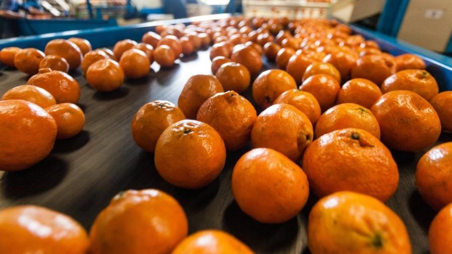 Exportación de mandarinas podrían crecer un 32% en volumen