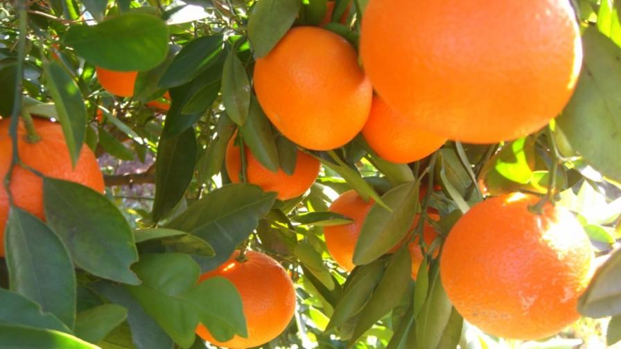 Perú se convierte en el principal exportador de mandarinas en América