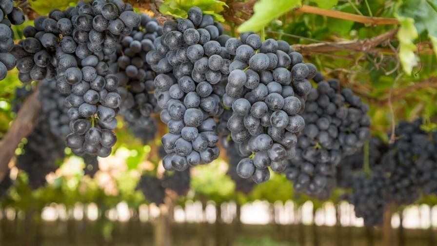 ¿Es hora de cambiar las variedades de uva de mesa?