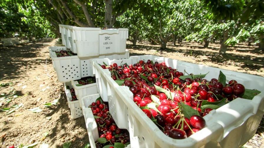 Retornos por cerezas de menor tamaño no cubren los costos de los productores