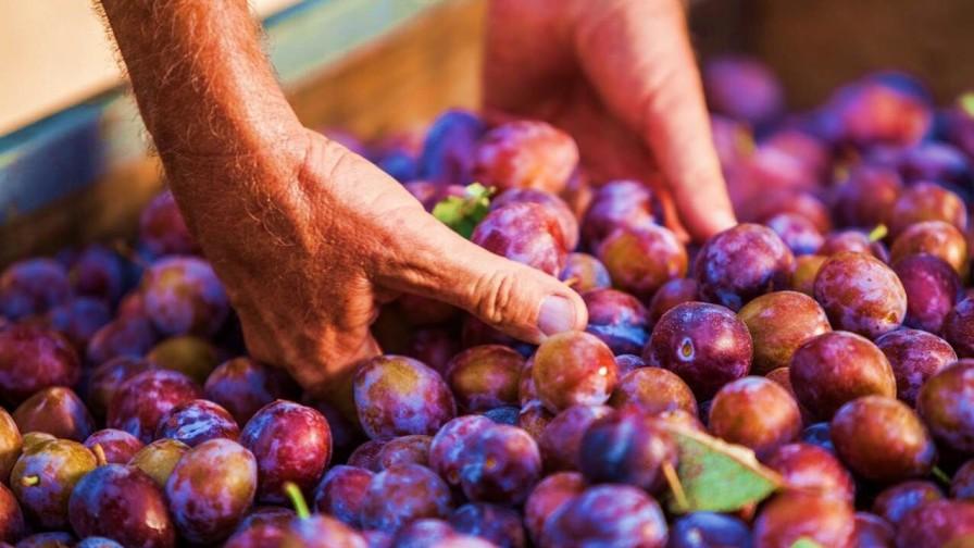 Industria busca incrementar consumo interno de ciruelas deshidratadas