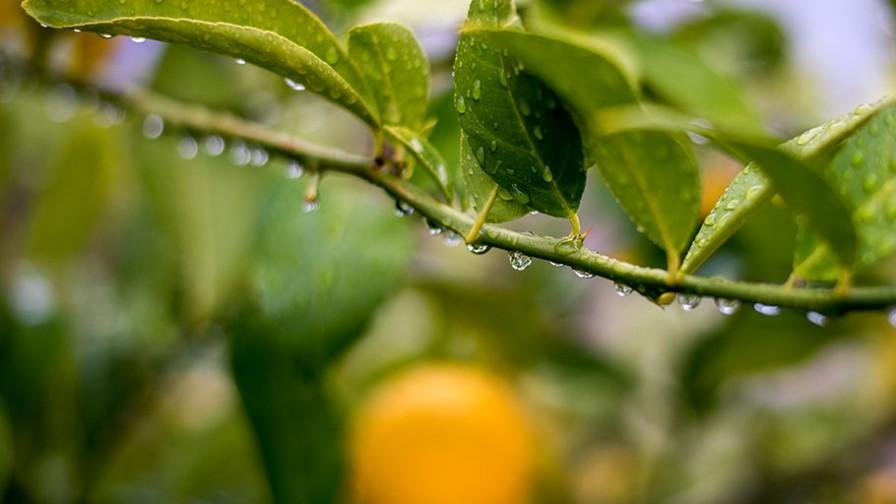 Comité de Cítricos busca evitar que se exporte fruta dañada por heladas