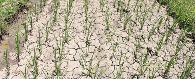 INIA reorienta el cultivo de arroz en Chile