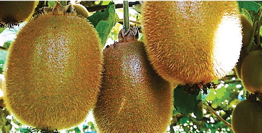 Comité del Kiwi participa en Convención Internacional Kiwifruit Organization (IKO)