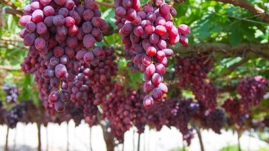Systems Approach para uva de mesa chilena con destino a EEUU