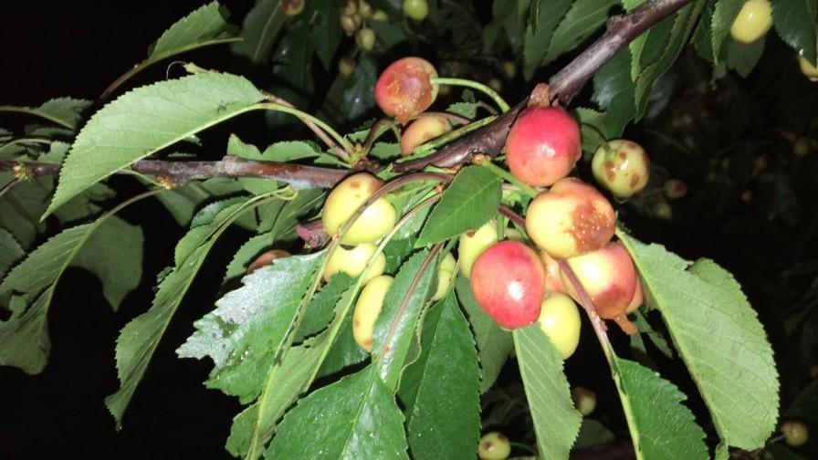 Granizos provoca una disminución cercana al 5% de las exportaciones de cerezas