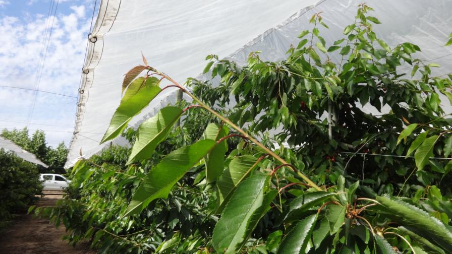 ¿Cómo enfrentar la inestabilidad climática en la fruticultura?