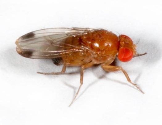 SAG conoce experiencia mexicana en el control de Drosophila suzukii