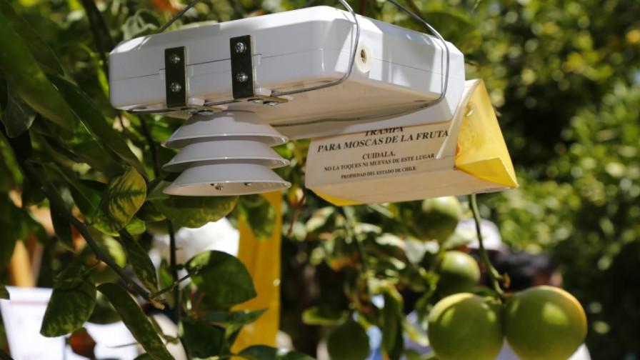 Nuevas trampas de alta tecnología para erradicar la mosca de la fruta