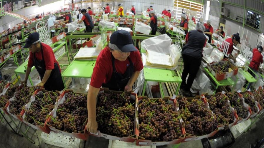 Crisis en la Uva de Mesa: Podría generar más de 2 mil cesantes en Monte Patria