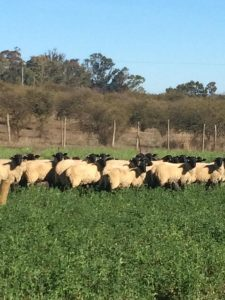 La alfalfa es un excelente recurso forrajero