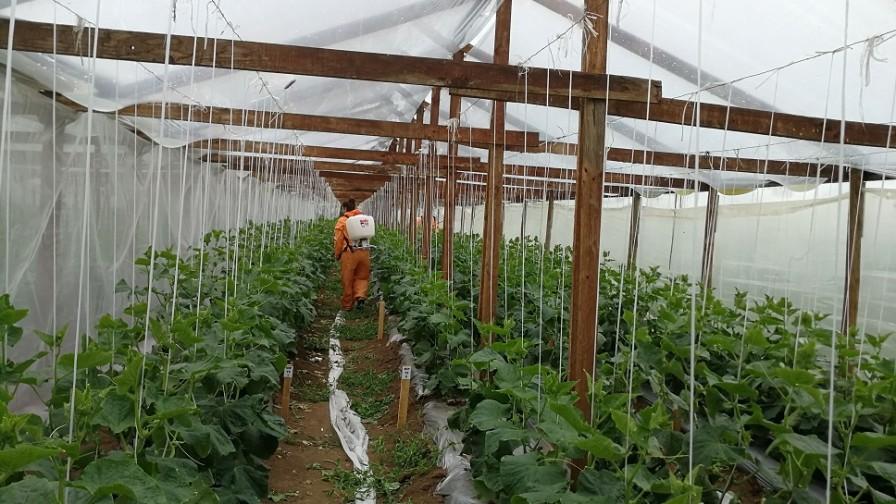 Pequeños agricultores del Maule obtienen hortalizas sin uso de plaguicidas químicos