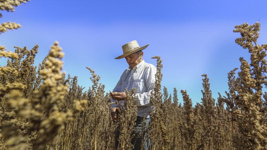 La quinua en Chile es mundial