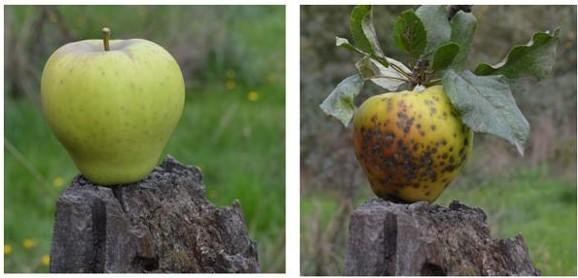 Identifican genes para mayor resistencia y adaptabilidad a manzanas ancestrales