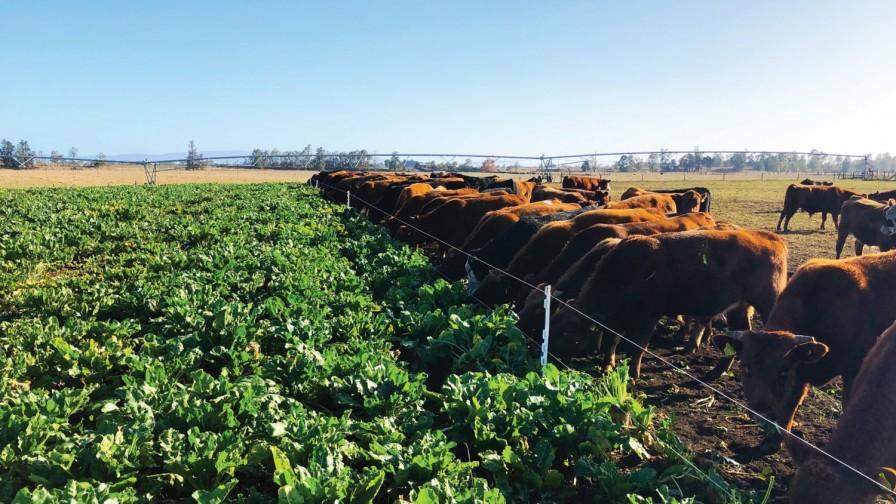¿Por qué es importante la transición para adoptar el pastoreo de remolacha forrajera?