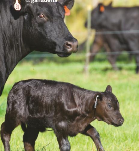 Impacto del bienestar de los animales de producción en la calidad de la carne, el medioambiente y el clima laboral