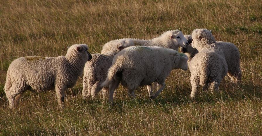 Buscan reconocer a Región de Magallanes libre de enfermedades ovinas y bovinas