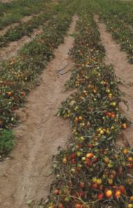 Una esperanza para el tomate