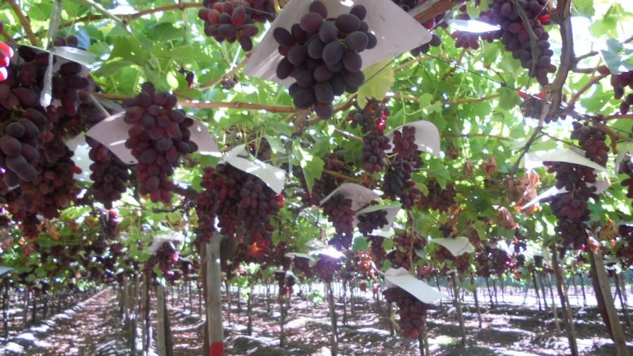 Presentan nuevo protocolo para enfrentar escasez hídrica en uva de mesa chilena