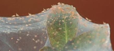 Claves para realizar un manejo integrado de ácaros fitófagos usando antagonistas biológicos