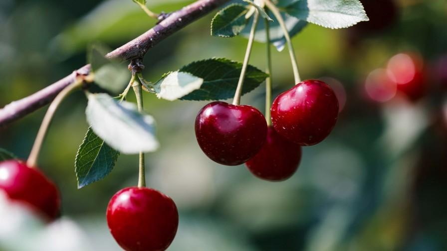 Bajo la lupa: principales plagas y enfermedades que afectan a los cerezos