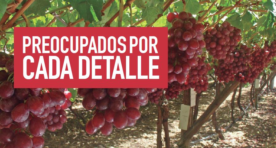 Protocolo de manejo de uva de mesa para condiciones de escasez hídrica