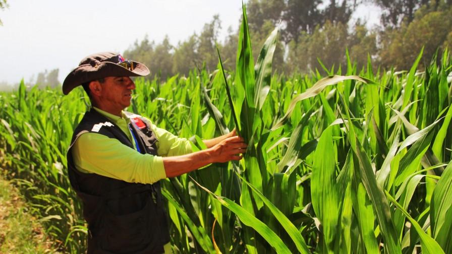 Temporada 2020: hectáreas de semilleros certificados aumentan un 44%