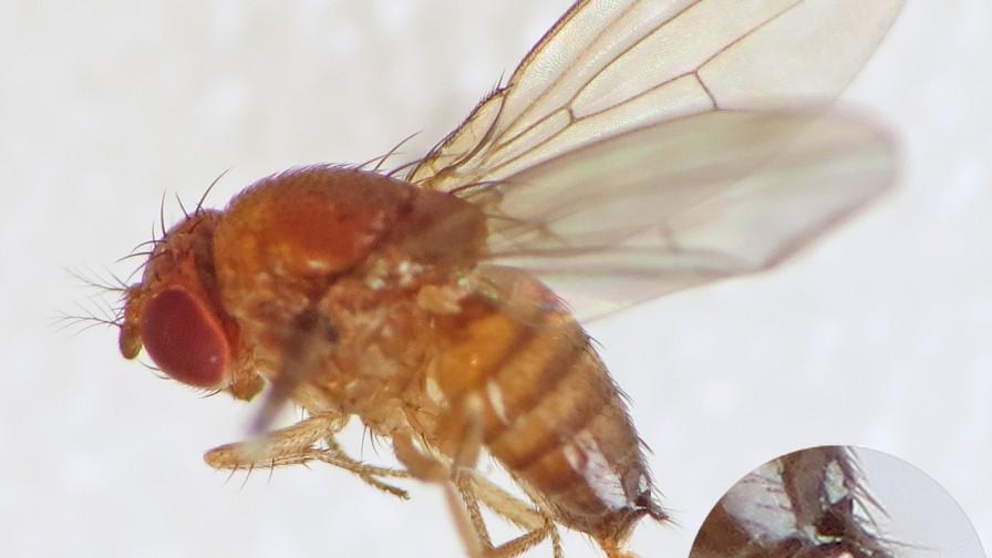 Directo al objetivo: lineamientos para un control  efectivo de Drosophila Suzukii