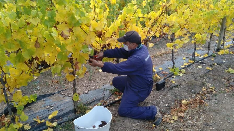 Se realiza cuarta vendimia «Keokén», los vinos más australes del mundo