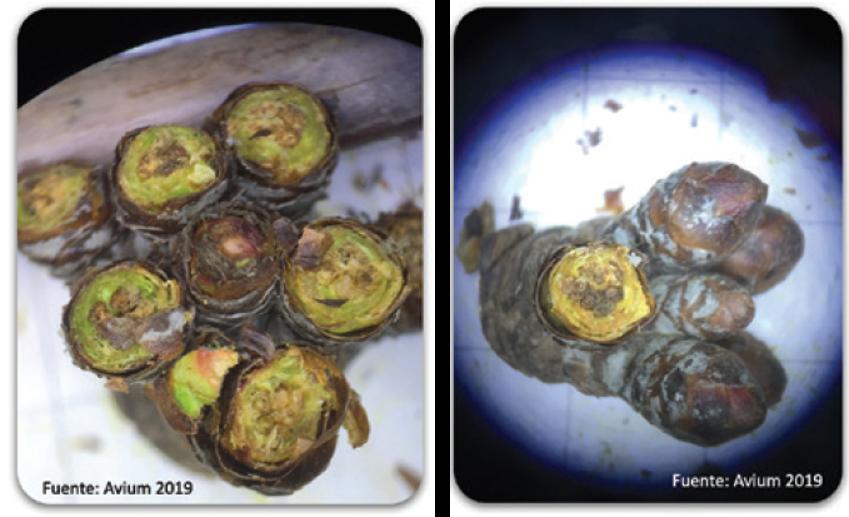 Identificación del potencial de floración mediante análisis de fertilidad y calidad de yemas