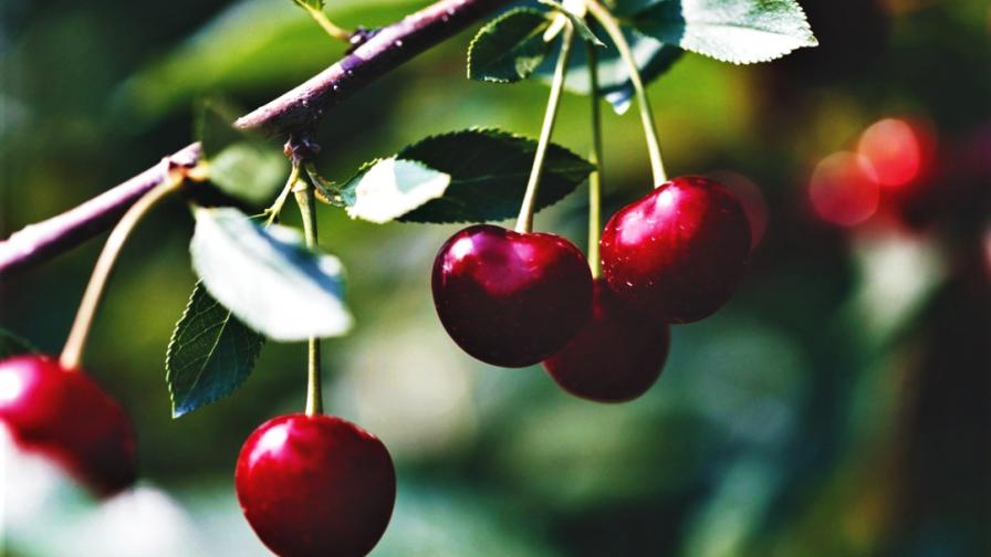 Realiza Summit Agro Chile primer seminario online de cerezos