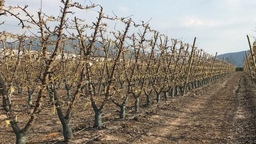 Dormancia: aspectos clave a considerar para el uso de rompedores en cerezos