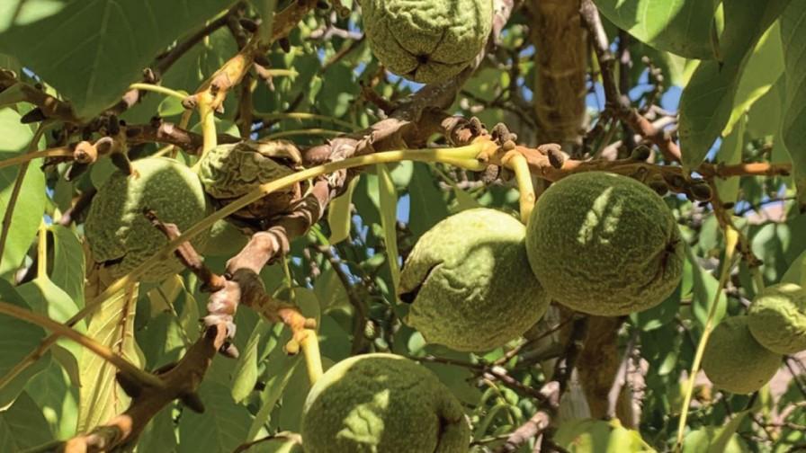 Análisis de la temporada de nueces 2020 y estrategias de manejo para una buena producción