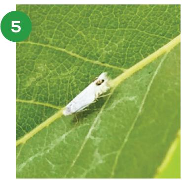 Estrategias de control para polilla del álamo en carozos y pomáceas