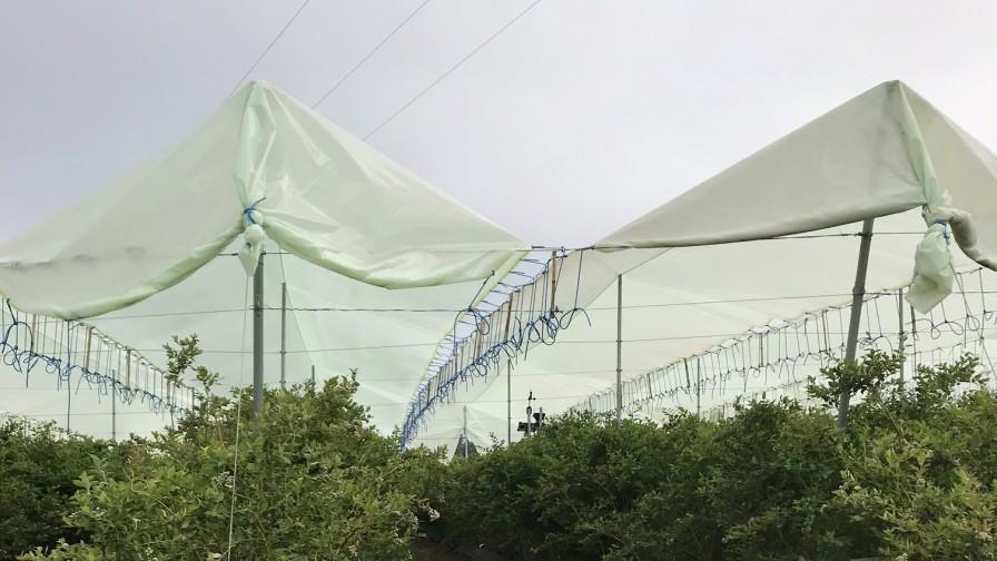 Cubiertas para protección de arándanos: el impacto en el uso del agua