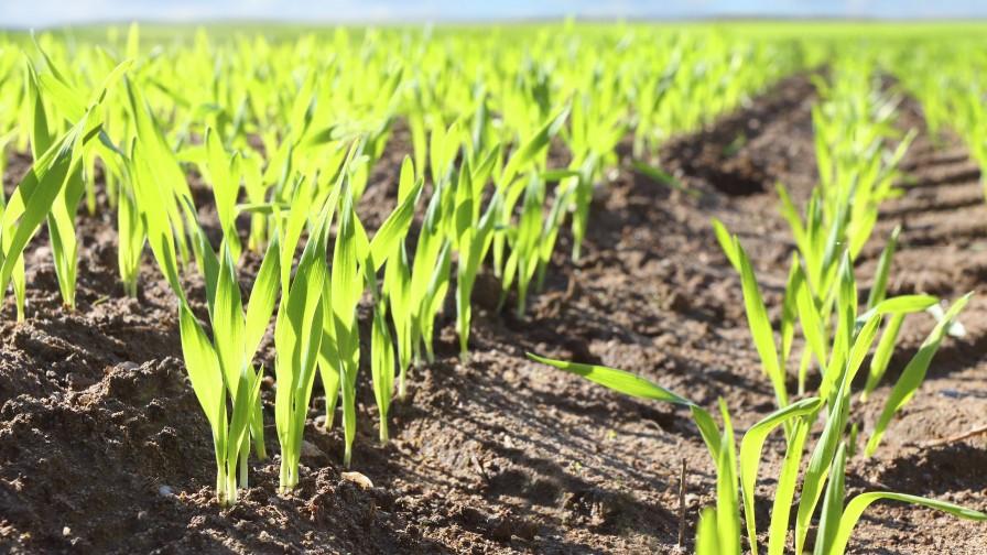 BASF presentó Zidua®, herbicida para controlar malezas gramíneas en cultivos de trigo y triticale