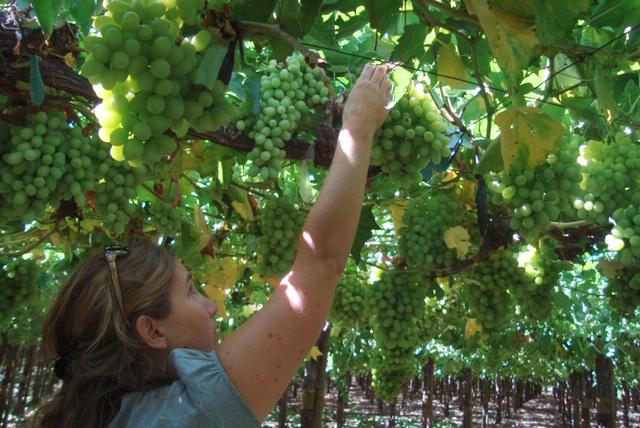 QUICK-SOL®, la carta bajo la manga para una buena condición de raquis en uva que ofrece Agrointegral