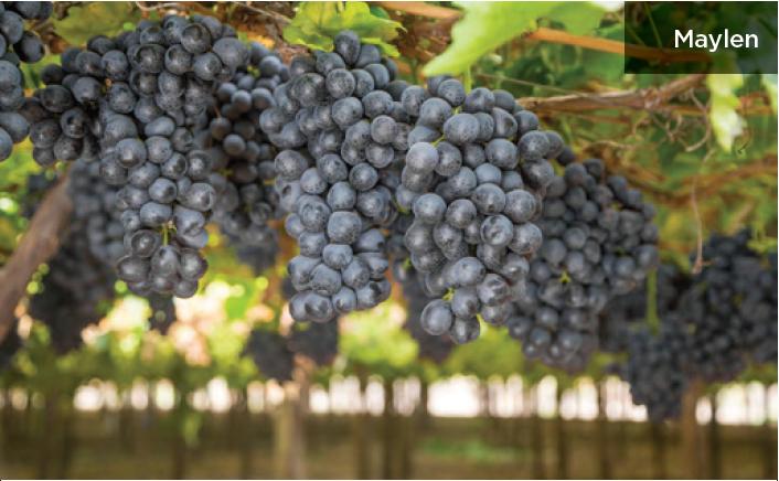 Nuevas variedades de uva de mesa: cuáles son las más importantes y qué ventajas y desafíos presentan