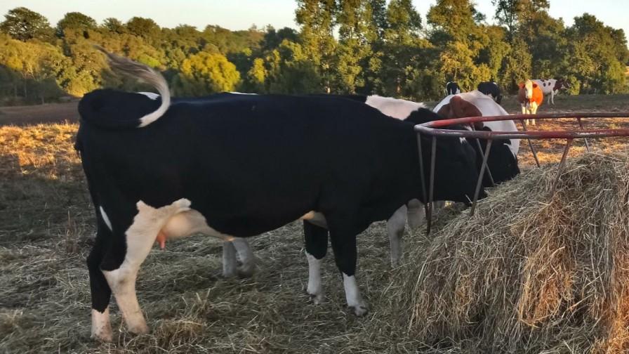 Claves para un manejo de transición que considere el bienestar animal