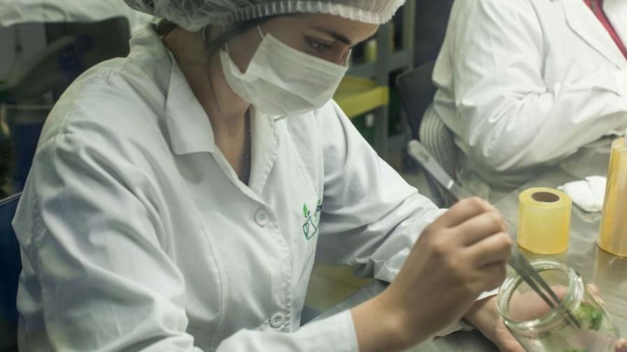 Viveros Vitromaule presentó sus portainjertos de cerezo