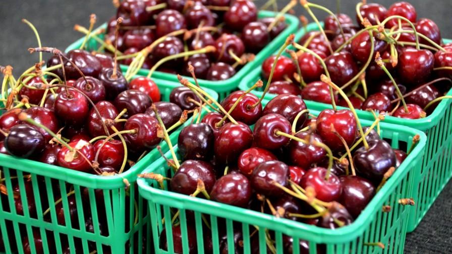 Próxima temporada de cerezas podría registrar nuevo récord de exportación: ¡255.000 toneladas!