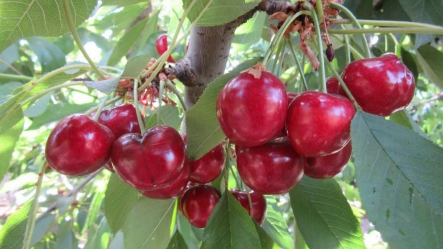 Cerezas: variedades tempranas de cosecha que pueden complementar nuestra producción
