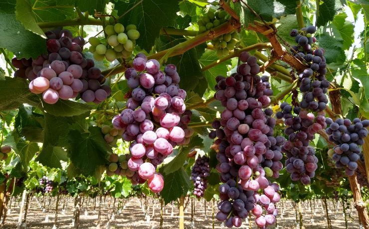 Nutrición foliar: resultados de ensayos con la línea Basfoliar® Premium SL