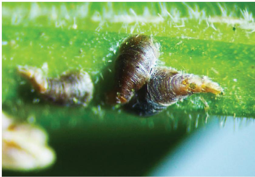 Desarrollo de insecticidas en el control de la escama coma en cerezos