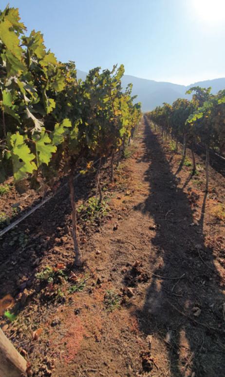 Poda tardía: técnica para mitigar los efectos del cambio climático en viticultura