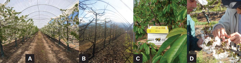 Cubiertas plásticas en cerezos: diferencias entre techos antilluvia y macrotúneles