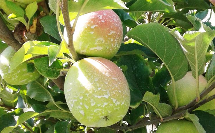 Golpe de sol en manzano: evaluación de protectores y filtros solares